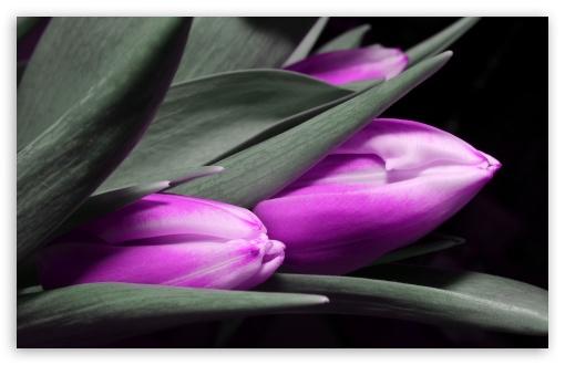 Download Purple Tulips UltraHD Wallpaper