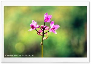 Pink Orkid
