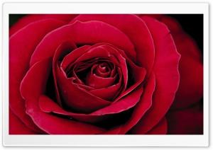 Lovely Red Rose Macro...