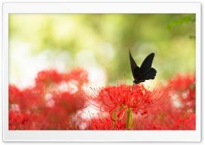 Black Swallowtail Butterfly...