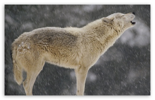 Download Female Timber Wolf Howling North America UltraHD Wallpaper
