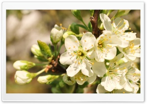 Apple Flowers Bunch