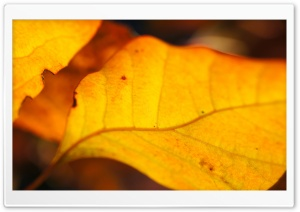 Yellow Walnut Leaves