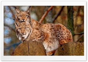 Lynx Animals