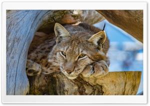 High Mountain Lynx