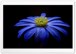 Balkan Anemone Flower