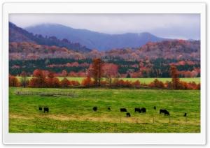 Wagyu Cows