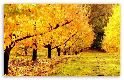 Download Golden Orchard UltraHD Wallpaper