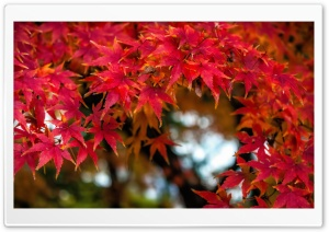 Fall Maples