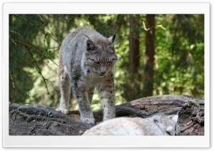 Eurasian Lynx, Eurasischer Luchs