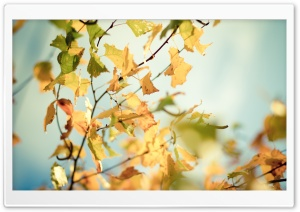 Yellowed Autumn Leaves