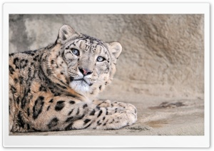 Snow Leopard With Blue Eyes