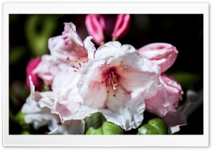 Rhododendron Flowers Macro