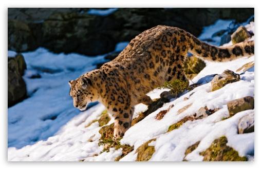Download Snow Leopard Walking Down UltraHD Wallpaper