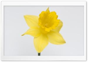 Lovely Daffodil Flower