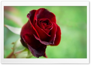 Soft Red Rose
