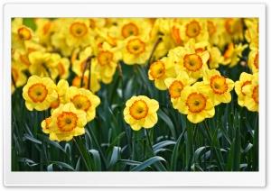 Yellow Daffodils Flowers,...