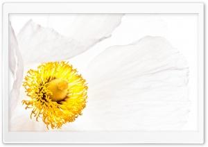 Matilija Poppy Flower Macro