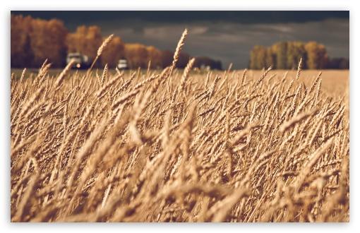Download Dark Stormy Clouds Over Wheat Field UltraHD Wallpaper