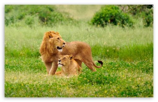 Download Lion Pair UltraHD Wallpaper