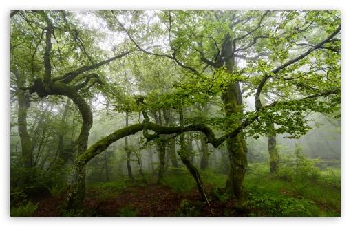 Download Green Forest Trees, Summer, Mist UltraHD Wallpaper