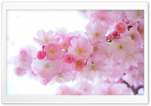 Japanese Cherry Trees in Bloom