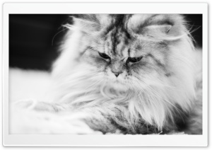 Cute Fluffy Cat Black and White