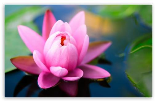 Download Cute Pink Water Lily UltraHD Wallpaper