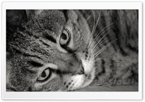 Tiger Cat Black And White