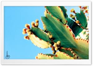 Bleeding Cactus