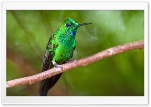 Green-crowned Brilliant...