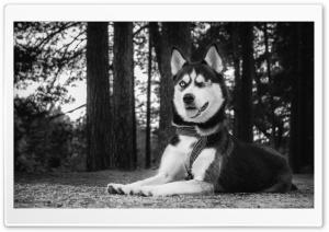 Funny Husky Dog