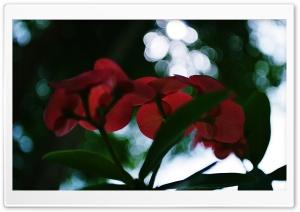 Euphorbia Milii Desmoul