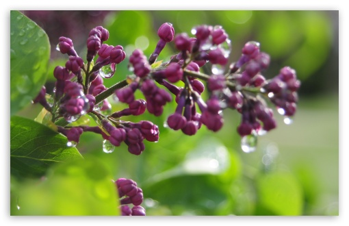 Download Wet Lilac Buds UltraHD Wallpaper