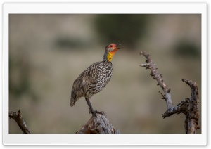 Yellow-necked Spurfowl Bird