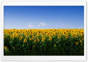 Sunflower Field Aesthetic