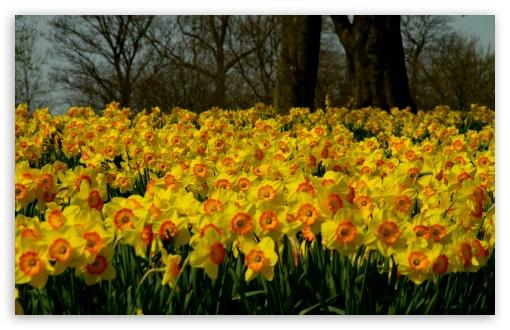 Download Sea Of Yellow Daffodils UltraHD Wallpaper