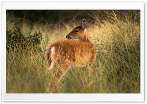 Deer in the Brush