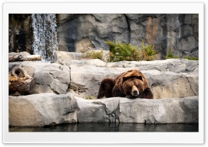 Grizzly Bear, Zoo