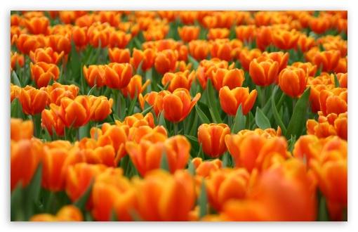 Download Orange Tulips Spring Flowers UltraHD Wallpaper