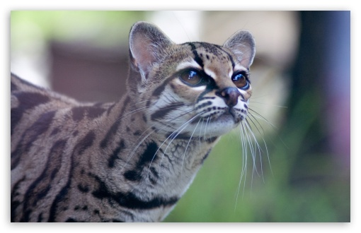 Download Pantanal Cat UltraHD Wallpaper