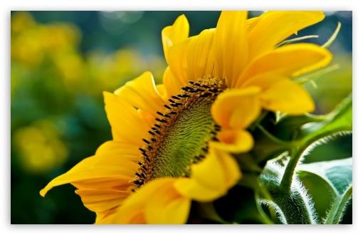 Download Sunflower Macro UltraHD Wallpaper