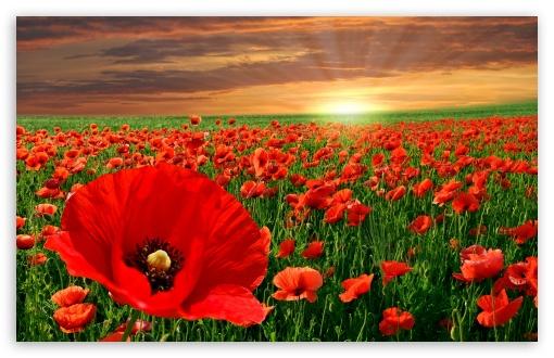 Download Sunset Poppy Field UltraHD Wallpaper