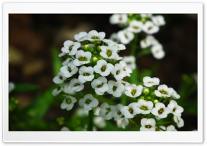 Small Little White Flowers
