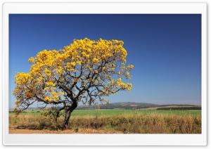 Ipê Tree