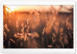 Golden Sun Rays Field