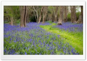 Bluebell Flowers, Grove, Spring