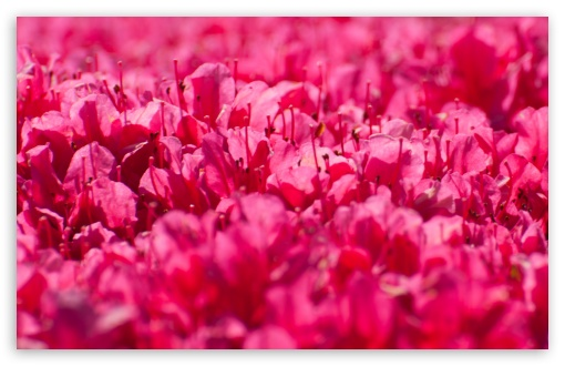 Download Pink Rhododendron Flowers UltraHD Wallpaper
