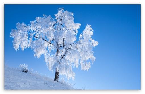Download White Tree, Winter, Blue Sky UltraHD Wallpaper