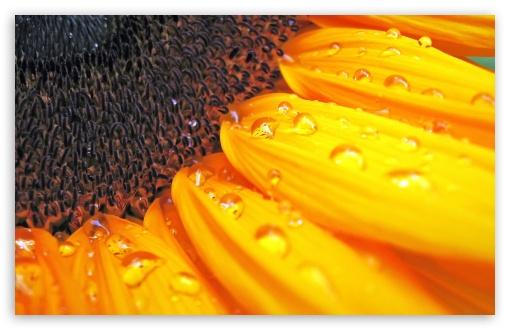 Download Sunflower Petals UltraHD Wallpaper
